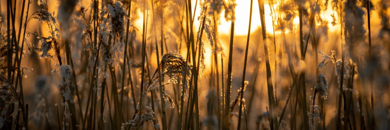 aurinko kaislojen takaa talvella