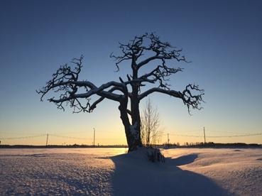 puu talvisessa auringonlaskussa