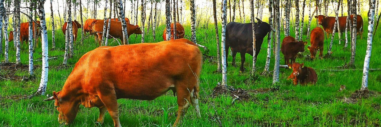 lehmiä laitumella koivumetsässä